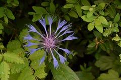 Cornflower растет в саде Стоковое Изображение RF