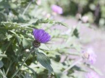 Cornflower сада Стоковое фото RF