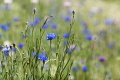 Cornflower сини Wildflowers Стоковое Фото