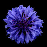 cornflower images stock