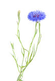 Cornflower Royalty Free Stock Photo