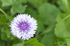 cornflower Stockfoto
