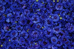 Cornflower image stock