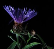Cornflower Stockbilder