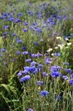 cornflower στοκ εικόνα