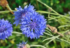 Cornflower 4 Стоковое фото RF