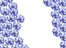Cornflower. Blue cornflower on white background vector illustration