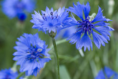 Free Cornflower Royalty Free Stock Photo - 14235315