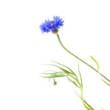 Cornflower Stock Images