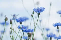 Cornflower Royalty Free Stock Image