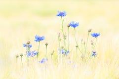 cornflower Στοκ Φωτογραφίες