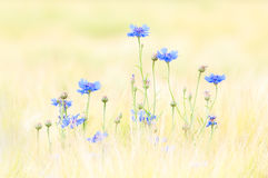 Cornflower Fotografie Stock