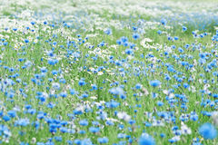 Cornflower Stock Photos