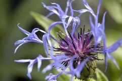 Cornflower. Close-up of a cornflower Royalty Free Stock Photos