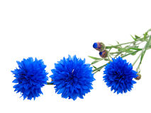 Cornflower. Isolated on white background with with room for text Stock Photos
