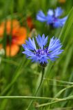 Cornflower. A cornflower in the field of poppies Royalty Free Stock Photos