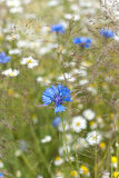 cornflower Στοκ Εικόνες