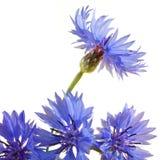 Cornflower Stock Images