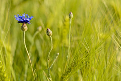 Cornflower. In the grain field royalty free stock photography