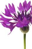 Cornflower. Isolated on white background Royalty Free Stock Images