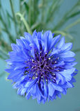 Cornflower. Blue cornflower Royalty Free Stock Images