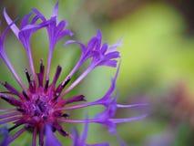 cornflower Imagen de archivo