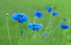 cornflower Photographie stock