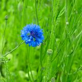 cornflower Fotografia Stock