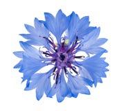cornflower Imagenes de archivo