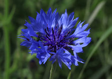 cornflower Foto de Stock Royalty Free