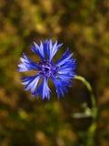 cornflower Foto de Stock