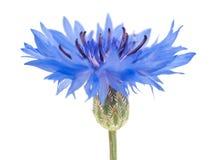 cornflower royalty-vrije stock fotografie
