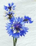 cornflower stock illustratie