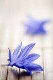 Cornflower imagem de stock royalty free
