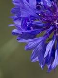 cornflower Fotografía de archivo libre de regalías