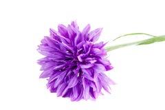 cornflower Foto de Stock Royalty Free