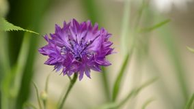 cornflower stock footage