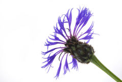 Cornflower Stock Photography
