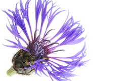 Cornflower Royalty Free Stock Photos