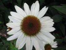 Cornflower Стоковые Изображения