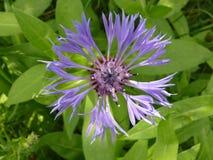 Cornflower Стоковые Фотографии RF