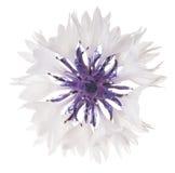 cornflower royalty-vrije stock afbeelding