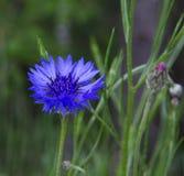 cornflower royalty-vrije stock foto's