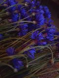 cornflower Stockbild