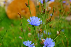 Cornflower Στοκ εικόνα με δικαίωμα ελεύθερης χρήσης