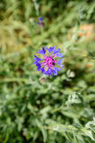 cornflower Fotos de Stock