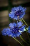 cornflower Royalty-vrije Stock Foto