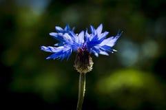cornflower Royalty-vrije Stock Afbeeldingen