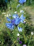cornflower stockfotografie