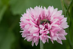 cornflower Foto de archivo